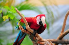 Scarlet macaw with blurred background Stock Image