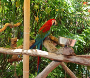 Scarlet Macaw. At Butterfly World in Coconut Creek Florida Royalty Free Stock Image