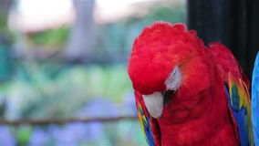 Scarlet Macaw cleaning its feathers stock footage
