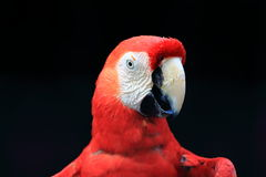 Scarlet macaw close up Royalty Free Stock Image