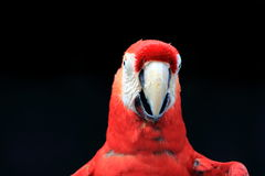 Scarlet macaw close up Royalty Free Stock Images