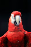 Scarlet macaw close up Stock Image