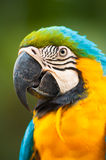 Scarlet Macaw. Stock Images