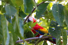 Scarlet Macaw. Colorful Scarlet Macaw in almond tree CostaRica royalty free stock images