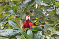 Scarlet Macaw. Colorful Scarlet Macaw in almond tree CostaRica looking stock photo