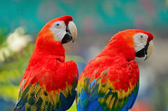 Scarlet Macaw Stock Photography