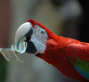 Scarlet Macaw with dollar bill Stock Photos