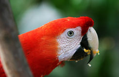 Scarlet Macaw eating fruit Royalty Free Stock Photo