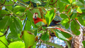 The Scarlet Macaw eating leafs over tree Royalty Free Stock Images