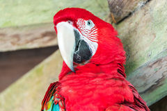 Scarlet Macaw Face Royalty Free Stock Photo