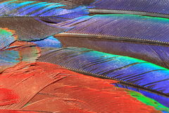 Scarlet Macaw feather Stock Photos