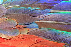 Scarlet Macaw feather Stock Images
