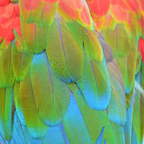 Scarlet Macaw feathers Stock Image