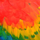 Scarlet Macaw feathers Royalty Free Stock Photography