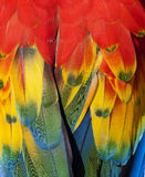 Scarlet macaw feathers closeup. Northern scarlet macaw feathers close up macro full frame , cancun, mexico, latin america. exotic bird parrot with vibrant Stock Images