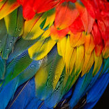 Scarlet Macaw feathers Royalty Free Stock Images