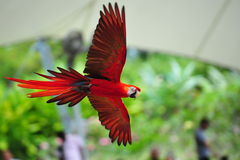 Scarlet macaw in flight. Vibrant scarlet macaw in flight Stock Photos