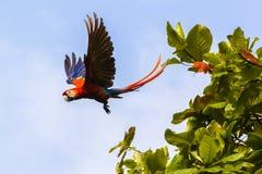 Flying scarlet macaw, Ara macao or Arakanga Stock Photo