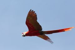 Scarlet Macaw in Flight Stock Image