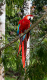 Scarlet Macaw Royalty Free Stock Photography