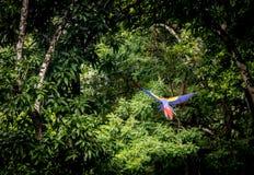 Scarlet Macaw Flying - Copan, Honduras Royalty Free Stock Photos