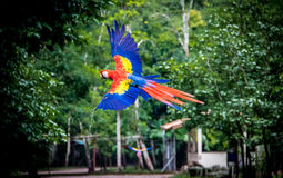 Scarlet Macaw Flying - Copan, Honduras. Scarlet Macaw Flying in Copan, Honduras Stock Photo
