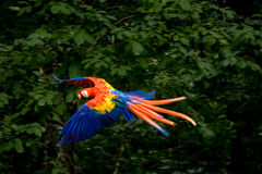 Scarlet Macaw Flying - Copan, Honduras Royalty Free Stock Images