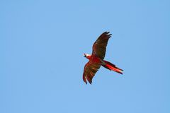 Scarlet macaw flying left Stock Photography