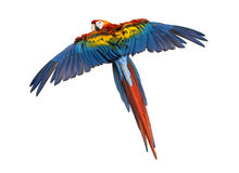 Scarlet Macaw flying (4 years old), isolated Stock Photo