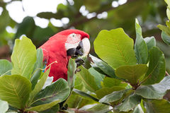 Green winged Macaw Stock Photography