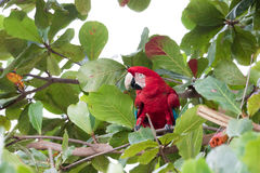 Green winged Macaw Royalty Free Stock Photos