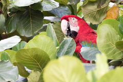 Green winged Macaw Stock Images