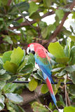 Green winged Macaw Stock Photo