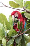 Green winged Macaw Royalty Free Stock Images