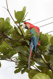 Green winged Macaw Royalty Free Stock Image