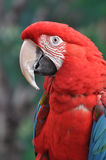 Scarlet macaw head Royalty Free Stock Photo