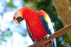 Scarlet macaw in Honduras Royalty Free Stock Photography
