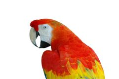 Scarlet Macaw Isolated Royalty Free Stock Photography