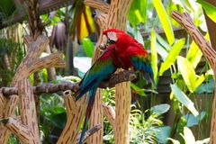 The scarlet macaw is a large red, yellow, and blue South America Stock Images