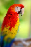 The Scarlet Macaw Stock Images