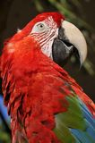 The Scarlet Macaw. Is a large, red, yellow and blue South American parrot, a member of a large group of Neotropical parrots called macaws. It is native to humid Royalty Free Stock Image