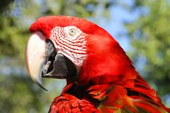 The Scarlet Macaw. Is a large, red, yellow and blue South American parrot, a member of a large group of Neotropical parrots called macaws. It is native to humid Royalty Free Stock Images