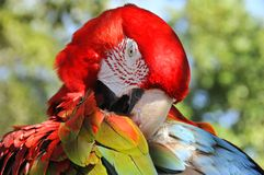 The Scarlet Macaw. Is a large, red, yellow and blue South American parrot, a member of a large group of Neotropical parrots called macaws. It is native to humid Royalty Free Stock Photo