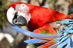 The Scarlet Macaw. Is a large, red, yellow and blue South American parrot, a member of a large group of Neotropical parrots called macaws. It is native to humid Royalty Free Stock Photos