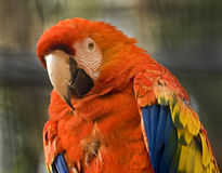 Scarlet macaw 2 Royalty Free Stock Image
