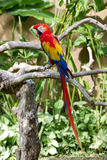 Scarlet macaw in nature surrounding Stock Photo