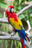 Scarlet macaw in nature surrounding Stock Photography