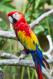 Scarlet macaw in nature surrounding Stock Image