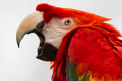 Scarlet Macaw. A scarlet macaw opening his strong beak Royalty Free Stock Image