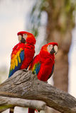 Scarlet Macaw Pair Stock Image